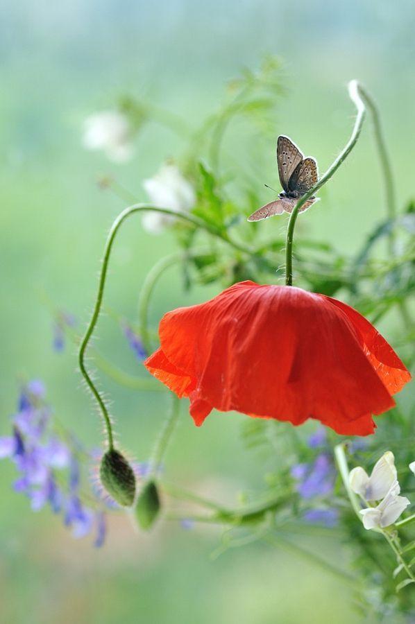 I have poppies in my garden; red ones, orange ones and pink ones.