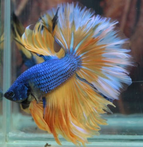 25 best ideas about betta fish on pinterest betta for What fish are compatible with betta fish