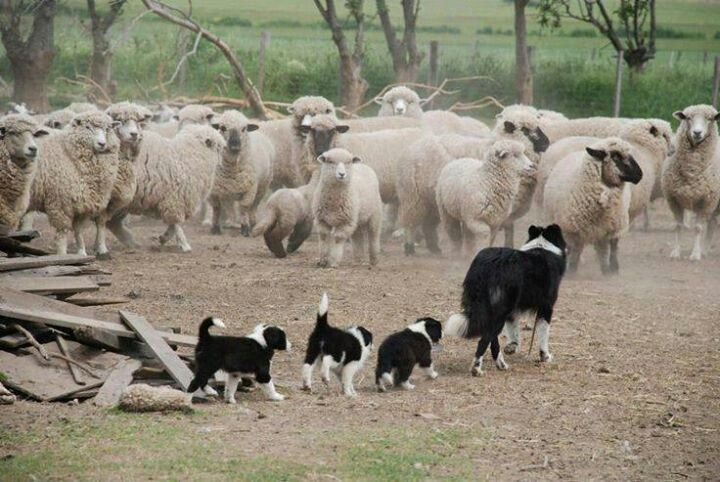 Take your kids to work day - Border Collie training :) …