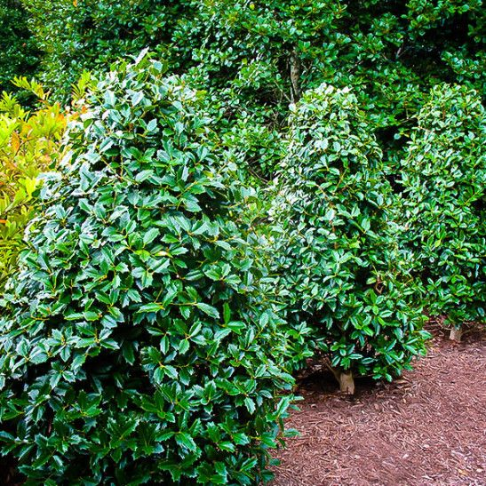 Southern Living Oakland Holly Tree Holly Tree Plants