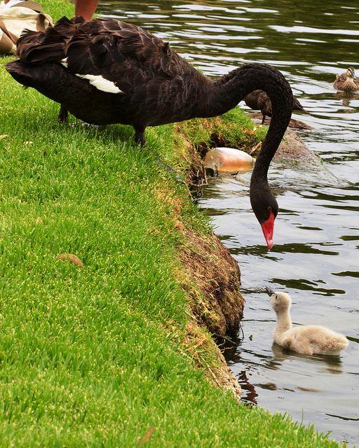 Black Swan and Cygnet River Torrens Adelaide Australia 108 by FlashGordon Photography, via Flickr