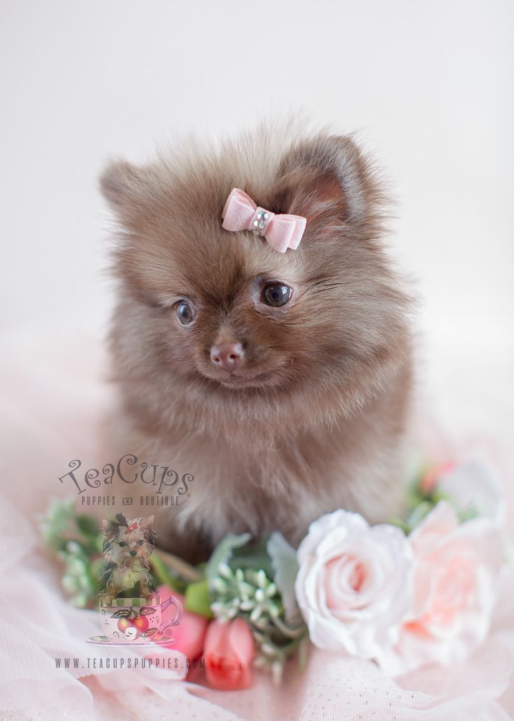 Chocolate Pomeranian Puppy Pomeranian Puppy Puppies