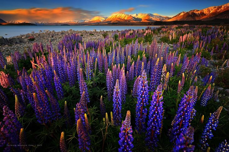 Lupine Fiesta by Patrick Marson Ong