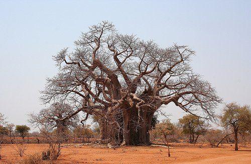 Baobab du Burkina