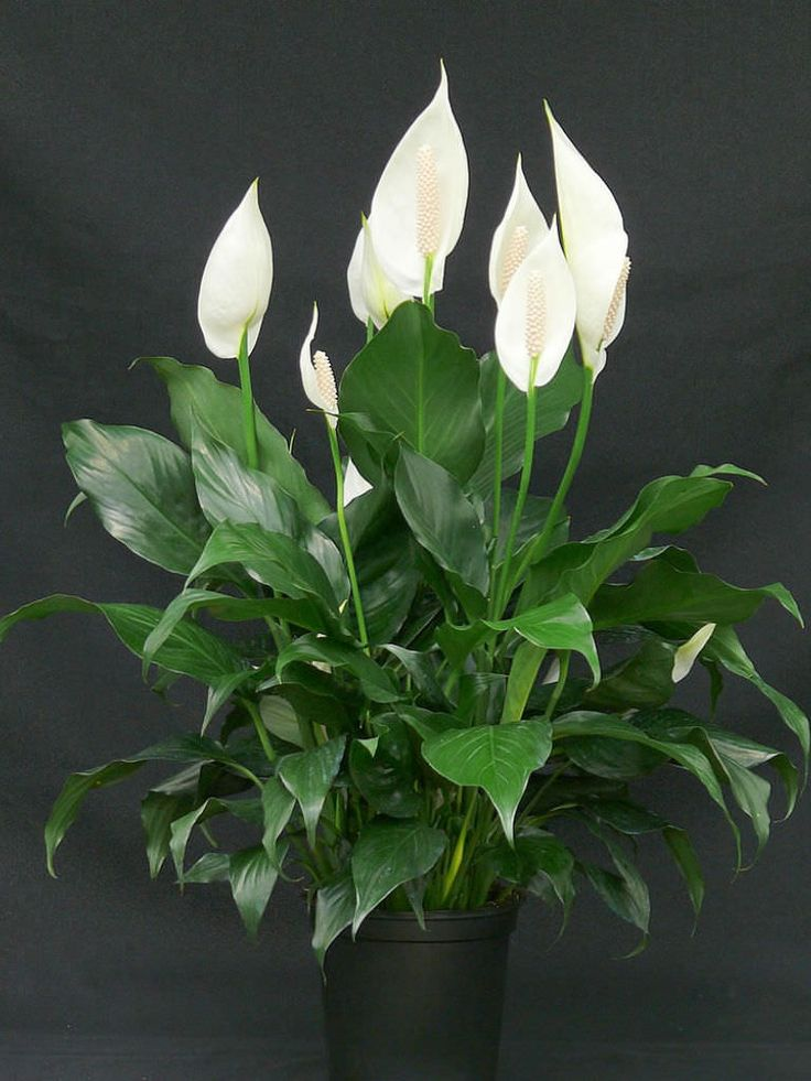 Spathiphyllum wallisii is an evergreen, herbaceous, perennial up to 3 feet (90 cm) tall. It is a very popular indoor house plant..