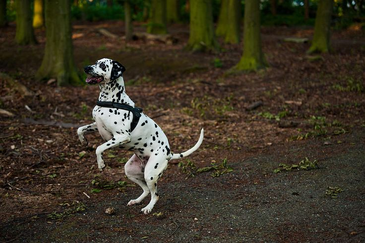 Dalmatian 5 Photograph by Martin  FF