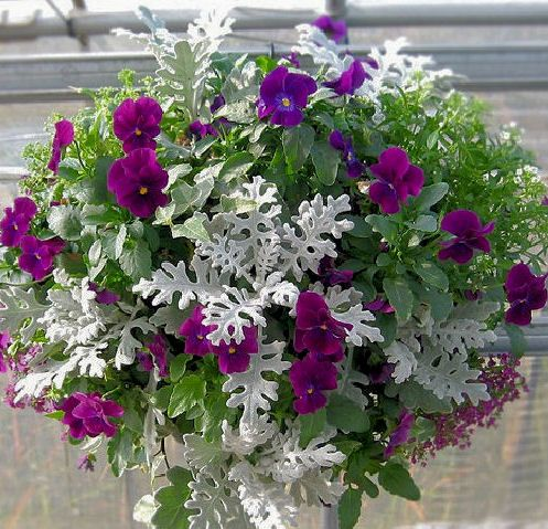Hanging basket with pansies & dusty miller. Love the contrast <3