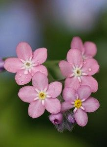Pink Forget Me Nots