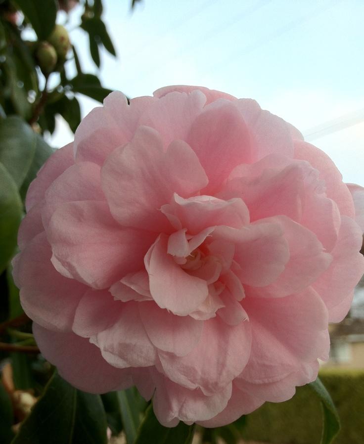 pink camellia: Flowers Gardens, Pink Flowers, Favorite Flowers, Pretty Flowers, Beautiful Flowers, Ahhhh Things, Pink Camellia, Things Outdoor, Beautiful Things