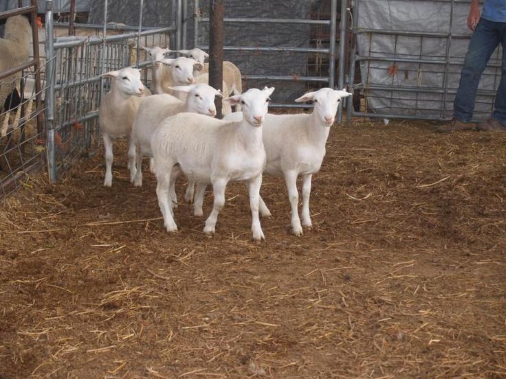 White Dorper Sheep South Africa Farming Sheep