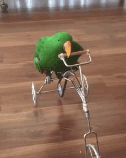 Parrot Riding bicycle