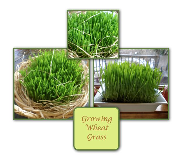 grow your own wheat grass :)