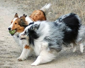 Male and female Shelties from Dogs care site, some of the summaries are incorrect but I like how all the breeds are listed