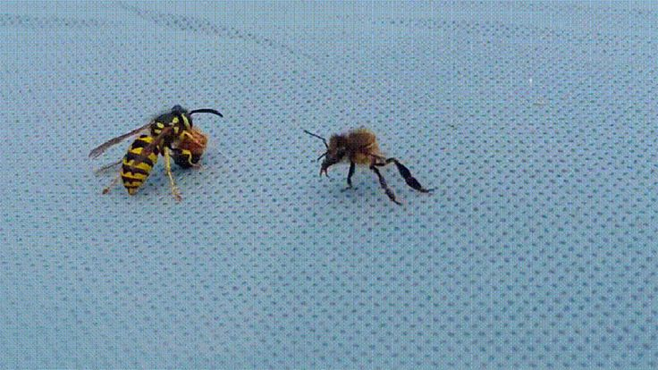 FOX NEWS: Wasp rips bee in half in viral video