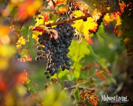Red- and orange-tinted leaves frame a cluster of grapes at Lemon Creek Winery near Berrien Springs, Michigan.