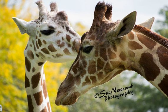 Pair of Giraffes by SueNewcombPhotos on Etsy.  A moment of tenderness between two giraffes at the Brookfield Zoo in Illinois.