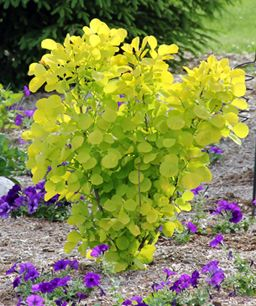 Golden Smoke Bush I like the idea of mixing the golden and purple smoke bushes
