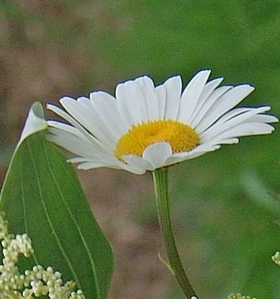 Florissimo - Flowers for weddings and events in Shropshire. LEUCANTHEMUM (OX EYE DAISY), MAY-AUG. From Florissimo Flower Directory at https://uk.pinterest.com/ByFlorissimo/flower-directory/   White