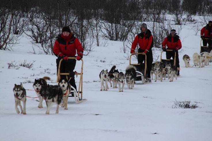 Cani da slitta - Dogsledding (Giorgio Cossa, Abisko)
