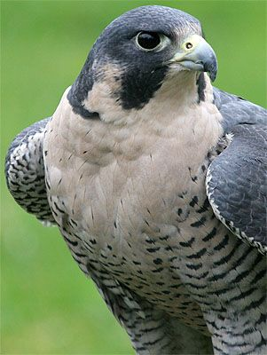 Peregrine falcons ... any falcons ... are wonderful to see.