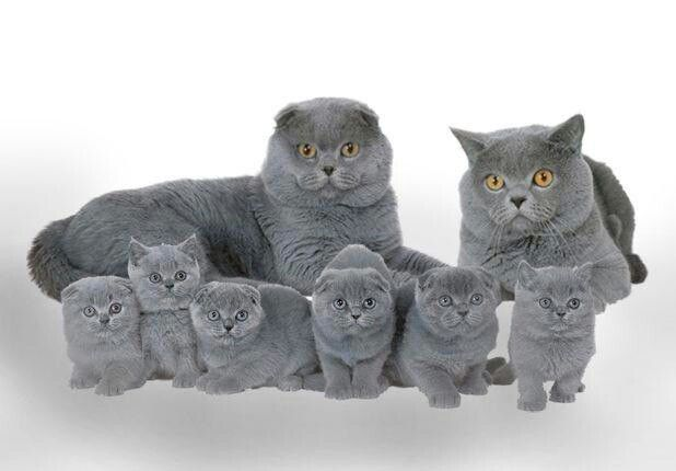 Blue Fold and British Adults with Scottish Fold and Scottish Shorthair Kittens