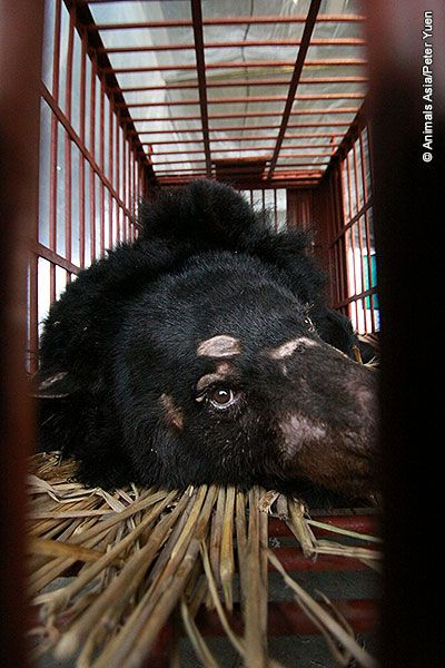 """AnimalsAsia ROCKS!   Amazing Rescue!   """"Six bears saved from illegal bile farm in China - Six bears were rescued from an illegal bear bile farm in China on Wednesday, January 9th, 2013 by the Sichuan Forestry Department and delivered to Animals Asia."""""""