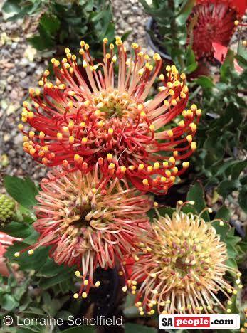 Pincushion Proteas South Africa