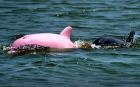 The world's only pink Bottlenose dolphin which was discovered in an inland lake in Louisiana, USA, has become such an attraction that conservationists have warned tourists to leave it alone.