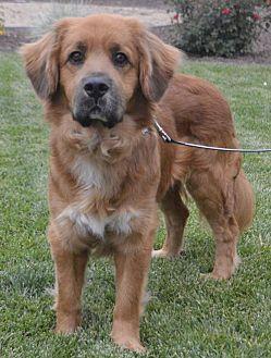 Palo Alto, CA - Golden Retriever/Cocker Spaniel Mix. Meet Rocco, a dog for adoption. https://www.adoptapet.com/pet/19558169-palo-alto-california-golden-retriever-mix