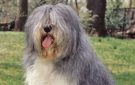 Herding - Polish Lowland Sheepdog  Breed Group: HerdingHeight: 17 to 20 inches at the shoulderWeight: 35 to 55 poundsLife Span: 10 to 12 yea...