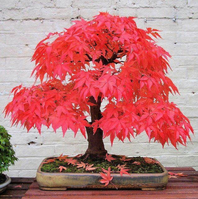 A rare strain of momji aka maple that's leaves throw off a pink hue. Planted in a shallow rectangular pot. The fallen leaves makes it feel like a crisp fall day