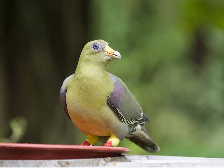African Green Pigeon _ JBP | by mahi mahi 163