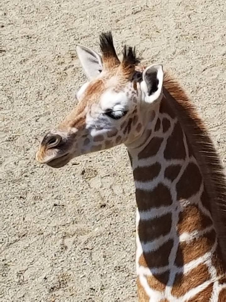 Animal Adventure Park Giraffe Cam 6th of July Live Now - april the giraffe blog app | Thank You Jordan and AAP, I am so lookiing forward to visiting