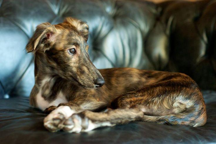 Silken Windhound Stan almost looks like a little fawn.