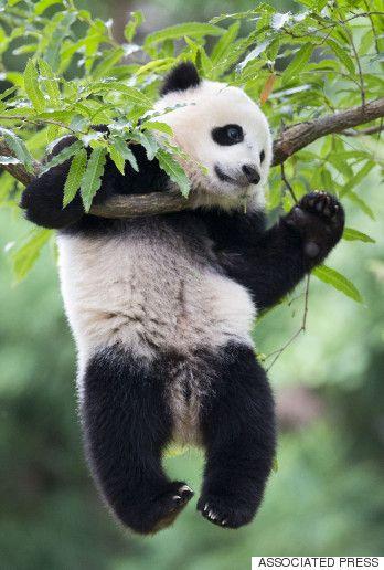 25 Best Panda Bears Ideas On Pinterest Panda Bear
