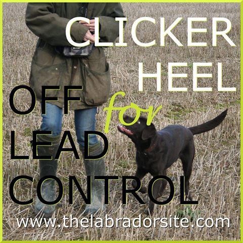 This handy article will help you teach your Labrador Retriever to walk to heel without a lead!