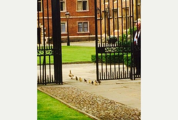 Pictures capture ducklings' epic journey through Cambridge's colleges to the Cam | Cambridge News