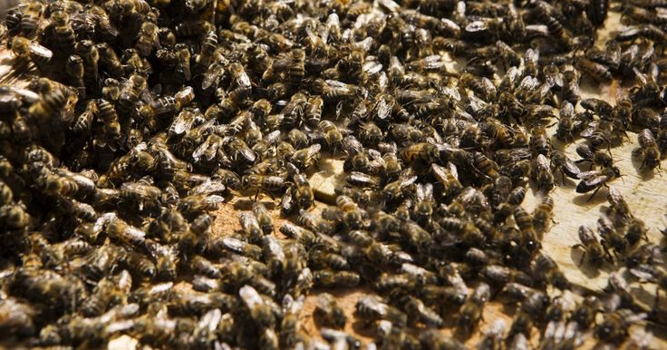 Como reagir a um enxame de abelhas. As abelhas desempenham um papel essencial no ecossistema do mundo, mas quando a colônia se sente ameaçada, podem formar um grande enxame que tem a capacidade de matar animais e humanos em questão de minutos através de múltiplas picadas. De acordo com o Las Vegas Fire and Rescue, a temporada do enxame de abelhas normalmente começa na primavera, ...
