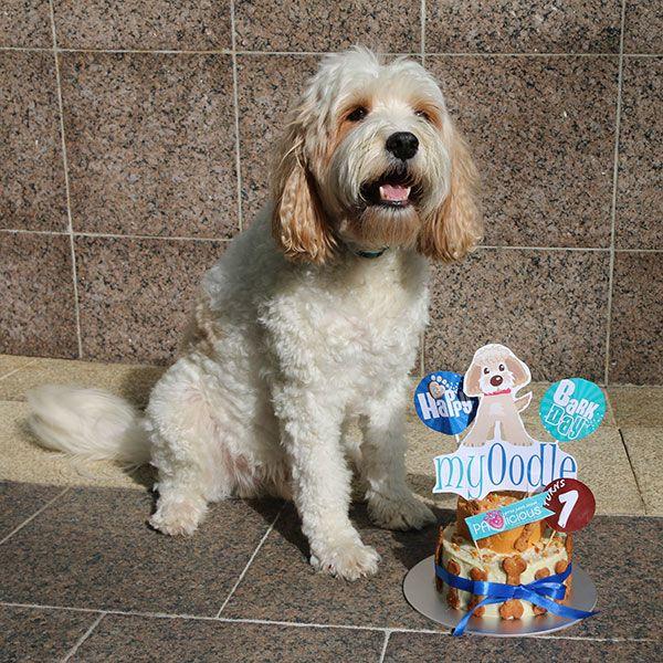 Happy 1st Birthday MyOodle.com #cavapoo #cavoodle #myoodle #oodle #doodle #dog #poodle #labradoodle #groodle #maltipoo #moodle #goldendoodle #eskapoo #airedoodle #bichpoo #cadoodle #bordoodle #cairnoodle #poocan #chipoo #choodle #corgipoo #flatdoodle #iridoodle #jackapoo #peekapoo #pekepoo #newdle #newfypoo #pomapoo #shoodle #schnoodle #lhasapoo #shepadoodle #sheepadoodle #shihpoo #shipoo #spoodle #cockapoo #cockerpoo #whoodle #yorkipoo