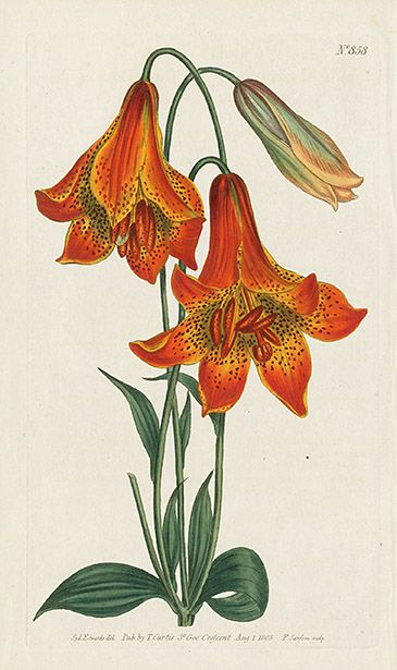 Lilium Canadense. Deep-Coloured Canadian Lily USD $55 Jewels from Curtis Botanical Magazine