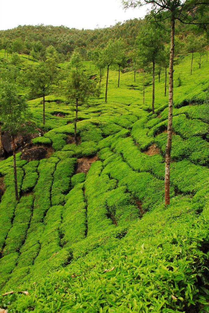 Munnar, India tea plantation