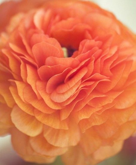 Orange: Beautiful Flower, Shades, Idea, Coral, Beautiful Color, Orange Flowers, Flower Fields, Peaches, Mothers Natural