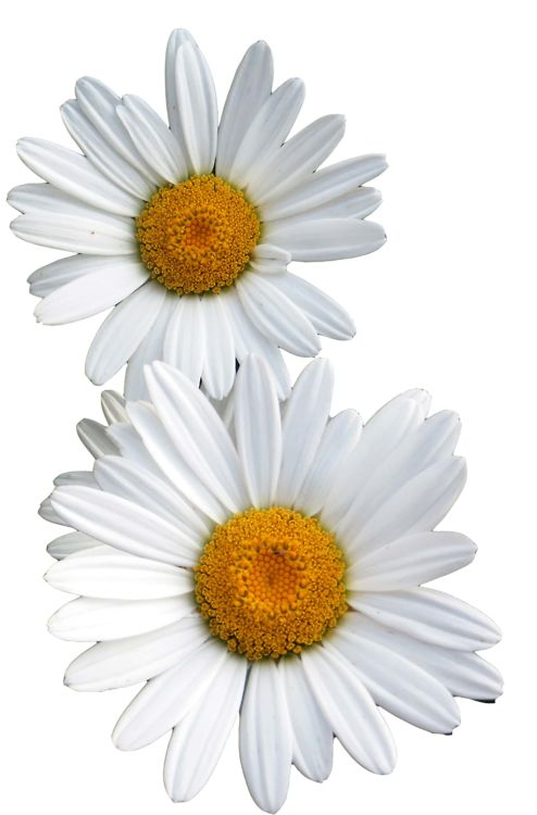 Dcd Fcdfb B A C B Cut Flowers White Flowers on daisies flowers tumblr transparents