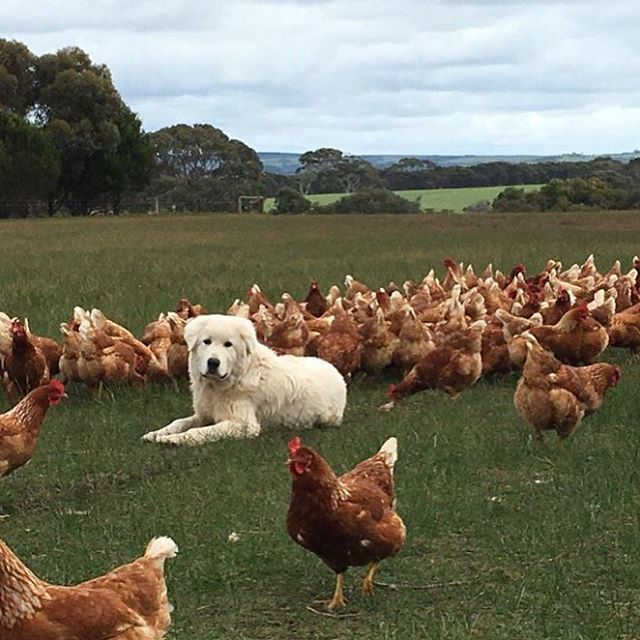 Maremma sheepdogs are the guardians watching over #chickens to keep them safe from predators at Graham and Kathy Barrett's farm on Kangaroo Island.  The chickens are laying #pasturedeggs as they are moved around in mobile chicken coops. Check out the full story this Sunday at noon on #ABCLandline (: Prue Adams)