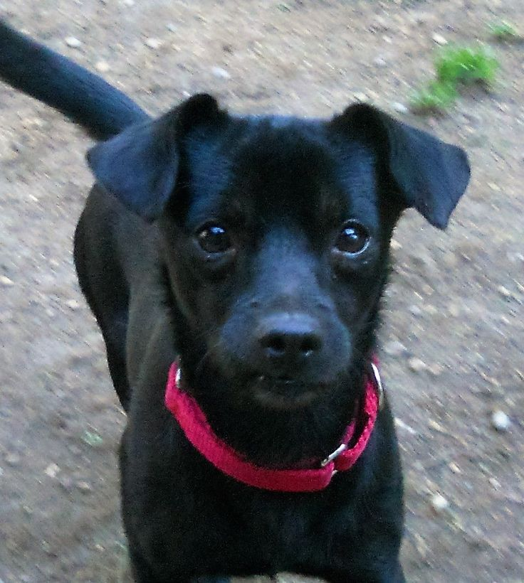 Chiweenie dog for adoption in olalla wa adn410228 on