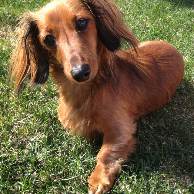 My miniature long haired dachshund ! Daisy <3