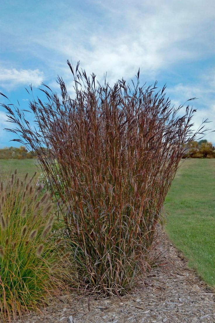 1000 Ideas About Tall Ornamental Grasses On Pinterest