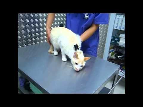 CLIPNOSIS Gattos Veterinaria de Gatos Madrid, How to deactivate a cat - YouTube
