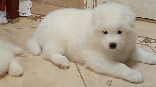 Samoyed puppy for sale in IRVING, NY. ADN-25109 on PuppyFinder.com Gender: Male. Age: 6 Weeks Old