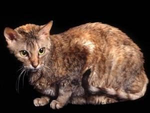 Razas de gatos German Rex